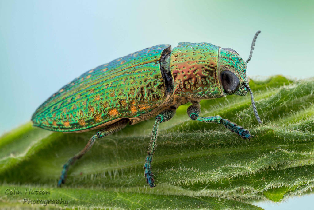 Metallic wood boring beetle - Buprestidae by ColinHuttonPhoto