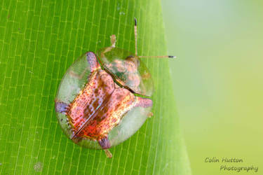 Tortoise beetle by ColinHuttonPhoto