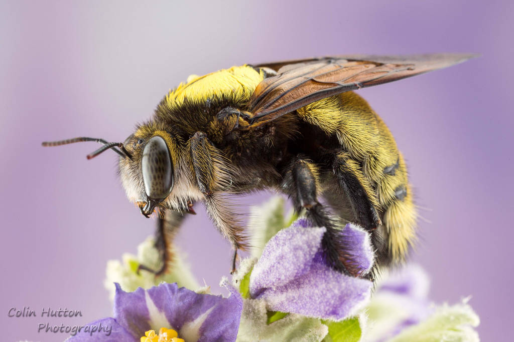Yellow bee by ColinHuttonPhoto