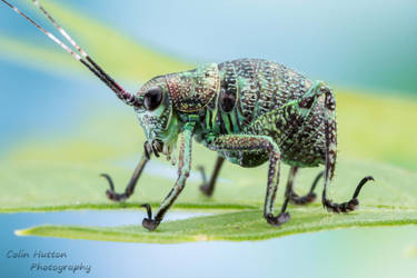 Beetle mimic katydid - Plangia sp. by ColinHuttonPhoto