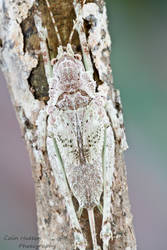 Lichen mimic katydid by ColinHuttonPhoto