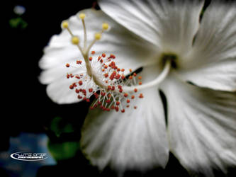 hibiscus by Huzznie