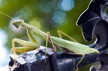 Praying Mantis by deviouselite