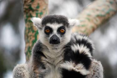Ring-tailed Lemur by RainThatFallsSoftly