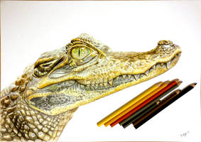 Crocodile Pencil Drawing by mmasdh