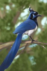 Black-throated Magpie-jay by kaithel