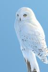 Snow Owl by kaithel