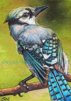 Blue Jay ACEO by De-Vagrant