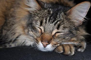 Maine Coon Sleeping by Talashira