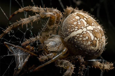 Araneus diadematus by FrederikM