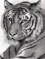 Tiger - in pencil by bhishma