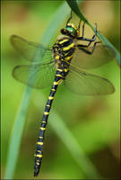 dragonfly by Prince-Photography