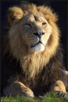 Asiatic Lion by Prince-Photography