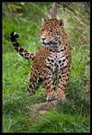 Jaguar 01-98 by Prince-Photography