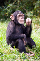 Chimpanzee 08-98 by Prince-Photography