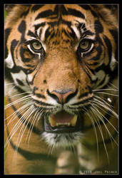 Tiger stare  16-108 by Prince-Photography