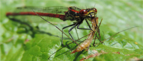 Large Red Damselfly eating a crane fly (i think) by draggon-rider2