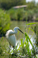 Little Egret by greentin