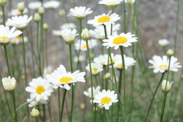 Little white flowers by oOlKatlOo