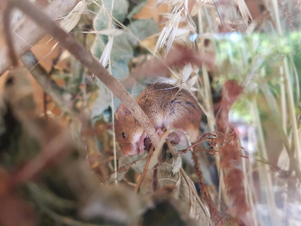 field mouse by Chri8