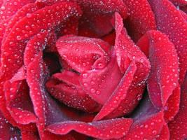 rainy rose by wolkentanzer