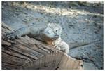 Komodo dragon by KKokosz