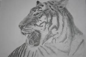 Tiger Study by AmanSahota