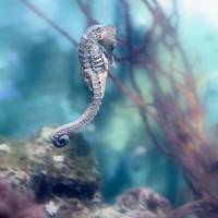 Seahorse by Cristel-m