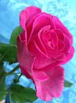 Rose by GraceDoragon