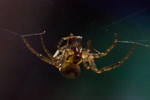 Spider by GeorgeAmies