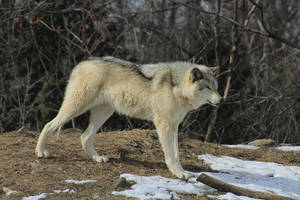 Wolf Stock Ecomuseum 76 by wolf-alchemy