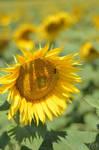 Sunflower by Seleyana