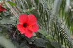 Ibiscus by Seleyana