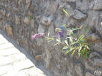 Lilac Fairy by Seleyana