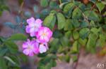 Pinky roses by Seleyana