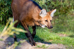 Maned Wolf: Time for a Hunt by Avestra