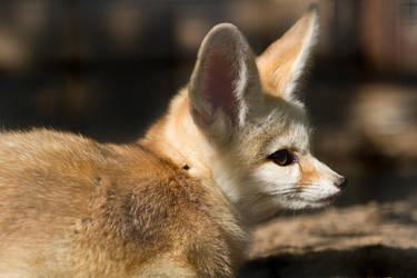 Fennec Fox by Avestra