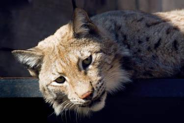 Eurasian Lynx by Avestra