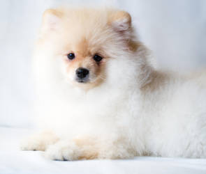 Fluffy Puppy II by Avestra