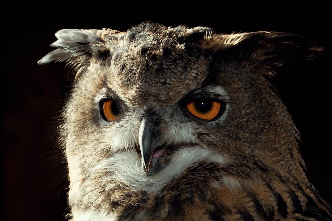 Eurasian Eagle-Owl by Avestra