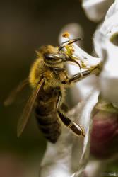 Spring Bee by TomazKlemensak