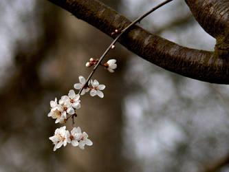 Rumors of Spring by paulscha