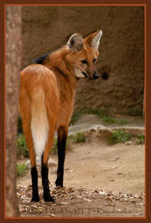 Maned Wolf by kayaksailor