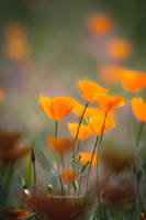 More poppy play by kayaksailor