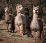 Llama lineup by kayaksailor