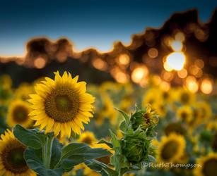Sunset sunflowers by kayaksailor