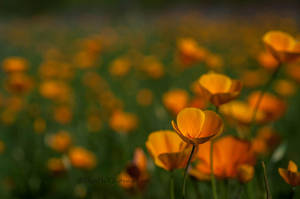 Poppy fields by kayaksailor