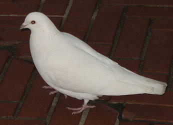 White Dove Stock 3 by pokethstock