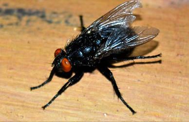 House Fly by DoktorBock