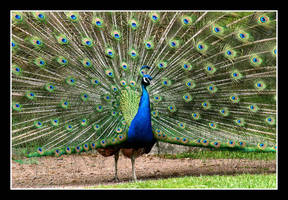 Peacock by Jangeborn